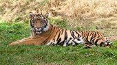 Sumatran Tiger Lying In The Grass
