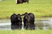 Black Angus Cows In A Pond