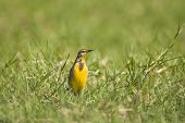 stock photo of meadowlark  - A beautiful Meadowlark calling out In A Field - JPG