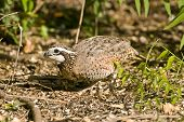 Northern Bobwhite Quail Feeding