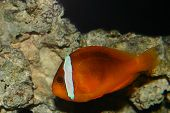 Imposter Clown Fish