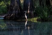 image of wetland  - Light of setting sun spot lighting a Great Blue Heron  - JPG