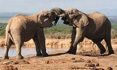 Elefant-Gerangel