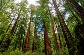 California Sequoia Trees