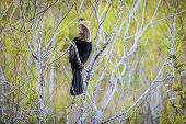Anhinga In Everglades