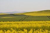 Poland Nysa colza field