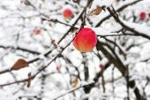 Red apple on a branch in the snow