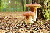 boletus mushroom in the moss
