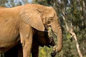 Elephants Feeding On Hay