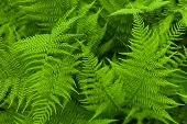 stock photo of fern  - Fresh and green fern background - JPG