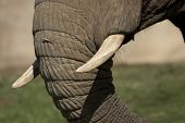 Elephant Tusks