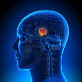 Cérebro anatomia - Hippotalamus