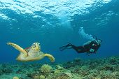 Hawksbill Sea Turtle and Scuba diver
