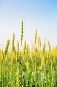 Wheat Ears And Sky