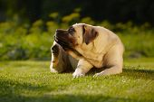 Mastiff In tuin