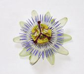 Isolated Bluecrown Passiflora