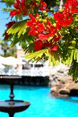 Flame Tree With Red Flowers (delonix Regia) Near Swimming Pool At Luxury Hotel, Tenerife Island, Spa
