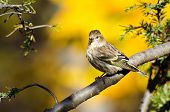 Pine Siskin Perched In Autumn