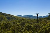 Araucaria Tree Forest