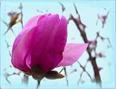 picture of japanese magnolia  - magenta - JPG