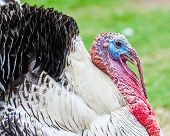 Close up portrait of domesticated tom turkey