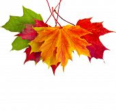 picture of october  - colorful autumn fall leaves maple isolated on white background - JPG