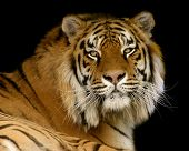 stock photo of zoo  - Portrait of a tiger against black background - JPG