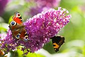 picture of butterfly-bush  - Pink butterfly bush flowers in summer with Peacock - JPG