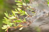 Ceylon Myrtle Flowering Plant With Cobweb