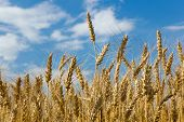 Spikelets Wheat In Field On Background Of Blue Sky