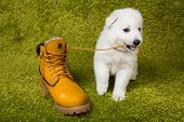 foto of swiss shepherd dog  - Baby swiss shepherd playing with yellow boot - JPG