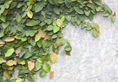 picture of climber plant  - The Green Creeper Plant on the Wall - JPG