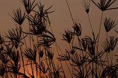 Silhouette of grass Sunset evening
