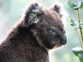 Koala Portrait poster