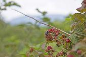 Summer Ripe Blackberries