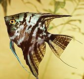 fish pterophyllum scalare