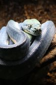 foto of green tree python  - Closeup view on the Blue python on the tree