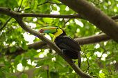 toucan in rain forest with tree and foliage early in the morning after rain.
