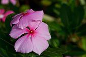 Pink Roseus Flowers In Garden. .