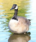 Canadian Goose standing in water