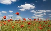 Hundreds of poppies under blue skies