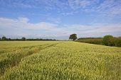 Yorkshire Wheat Field