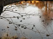 Wild ducks in a river