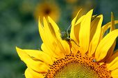 image of locusts  - Locust on sunflower  - JPG