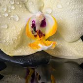 Beautiful Spa Still Life With Yellow Flower Orchid, Phalaenopsis With Drops On Black  Zen Stones , W