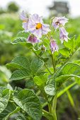 Flower Potato