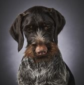 German Wire-haired Pointer