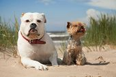 bulldog and yorkshire terrier on beach