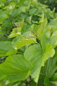 foto of mulberry  - Mulberry leaf tree at field for feed silkworm - JPG