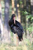 Black Stork,  Ciconia Nigra